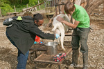 Adult milking a goat at River Valley Ranch