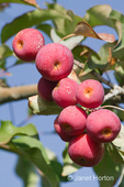 Crabapple fruit close-up at Lucia's Orchards