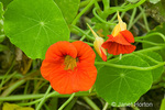 Nasturtium Jewel Series red trumpet-shaped flower