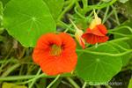 Nasturtium Jewel Series red trumpet-shaped flower