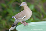 White-winged dove close-up at a birdbath in a backyard