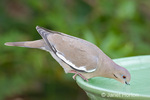 White-winged dove at a birdbath in a backyard