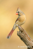 Female Northern Cardinal perched on a dead tree stump