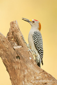 Golden-fronted Woodpecker eating a seed, perched on a dead tree stump