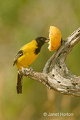 Audubon's Oriole eating an orange at a feeder