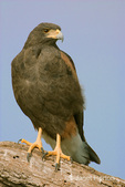 Harris' Hawk perched on a large tree limb, watching for prey