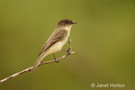 Eastern Wood-Pewee perched on a bare branch