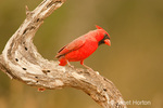 Male Northern Cardinal perched on a twisted dead tree limb