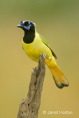 Green Jay perched on top of a dead tree branch