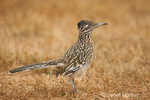 Greater Roadrunner standing in the dry grass