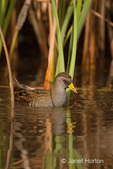 Sora Rail walking in the cattails in a small pond