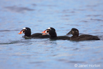 Male and female surf scoters swimming in the ocean near the shore