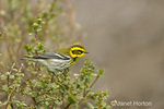 Townsend's Warbler perched in a bush in winter