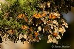 Monarch Butterflies in a cluster on a tree