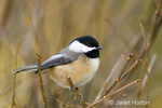 Black-capped Chickadee sitting in bush with no leaves in my backyard