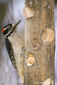 Male Hairy Woodpecker eating from a log suet feeder in my backyard.