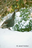 Wild Turkey hen walking in the snow in my backyard