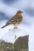 Female Varied Thrush resting on a snow-covered log in my backyard