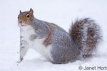 Western Grey Squirrel or California Grey Squirrel looking for food partially covered by snow, in my backyard