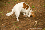 Mandy, a 7 month old Cavalier King Charles Spaniel, digging a hole in the dirt in our backyard to bury a bone in Issaquah, WA
