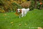 Mandy, a 9 month old Cavalier King Charles Spaniel, playing outside carrying a leaf in her mouth in the autumn