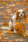 Mandy, a 9 month old Cavalier King Charles Spaniel, looking sad while holding a leaf in her mouth in the autumn
