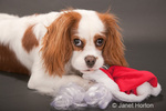 Mandy, a Cavalier King Charles Spaniel, who is 9 months old, being mischievous and preferring to chew on her Santa hat and beard versus wear it
