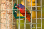 Male Eastern Painted Bunting eating from a seed feeder in a wire cage