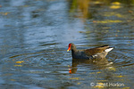 Common Moorhen swimming in pond