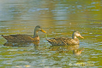 Male and female Mottled Ducks in pond