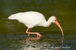 White Ibis feeding in a shallow lagoon