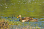 Male and female Mottled Ducks in a pond