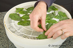 Placing raw basil on a dehydrator shelf to dry in an electric dehydrator in the kitchen