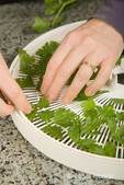 Woman, Kath, placing fresh parsley leaves on the shelf of a dehydrator in preparation for drying in an electric dehydrator in the kitchen