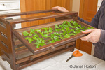 Woman, Kath, pulling out shelf of chopped, raw parsley on the shelf of an air drying dehydrator in the kitchen