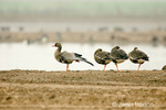 Greater White-fronted Geese, with one stretching its wing