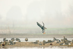 Greater White-fronted Geese, with one landing