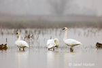 Tundra Swans in fog in Cosumnes River Preserve, CA
