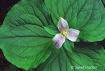 Western Wake Robin wildflower.
