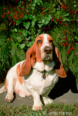 Charlie, the Bassett Hound, sitting by a colorful bush in the backyard