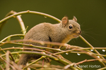 Douglas' Squirrel  or Chickaree or Pine Squirrel sitting in a tree with new spring growth after a rain in the backyard.