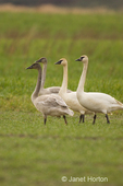 Flock of Trumpeter Swans including juveniles