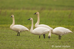 Flock of Trumpeter Swans