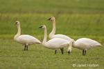 Flock of Trumpeter Swans