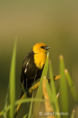 Male Yellow-headed Blackbird on cattails