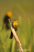 Female Yellow-headed Blackbird on cattails