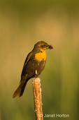 Female Yellow-headed Blackbird eating bug, sitting on cattails