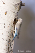 Female Mountain Bluebird by nesting hole on tree
