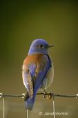 Male Western Bluebird sitting on wire fence