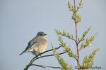 Female Western Bluebird in tree